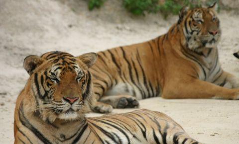 Templul Tigrilor din Kanchanaburi