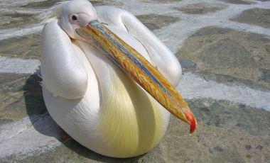 Pelicanul Petros din Insula Mykonos